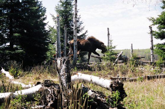 mama moose on island in northern alberta